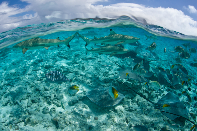 A group of reef sharks and rays cruise in shallow water near Bora Bora in French Polynesia